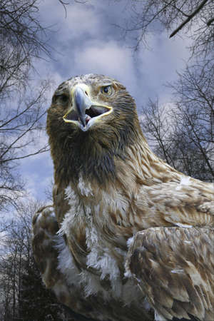 there is yellow mouths nestling of ravenous bird, Caucasus  photo