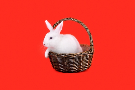 Easter - sweet and fluffy white bunny in a basket on a red background   photo