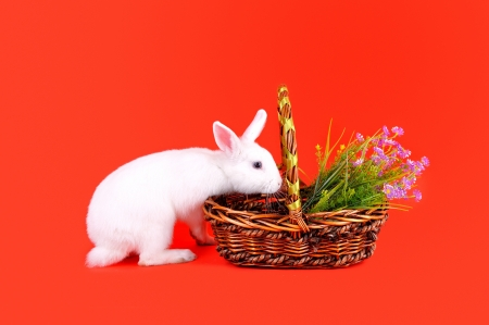 Easter - sweet and fluffy white bunny and basket with  flowers  on a red background   photo