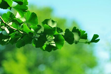 Sprig of ginkgo biloba in natural background photo