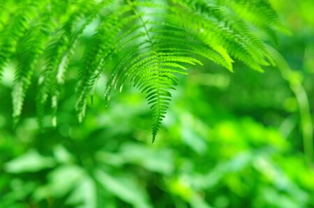 Wild nature - Beauty  fern close-up in sunny forest photo