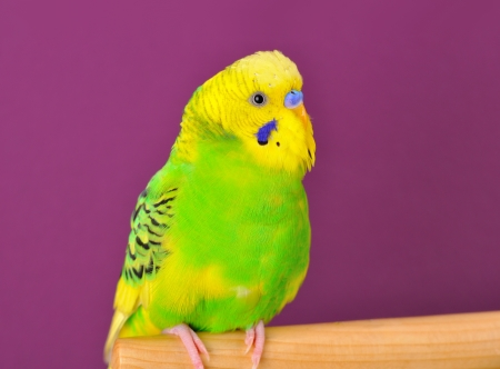 Motley yellow-green budgerigar parrot closeup perched on a stand of purple background photo