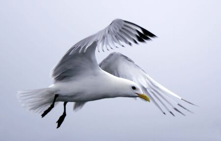beautiful seagull flying photo
