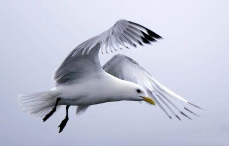 volo bello del gabbiano