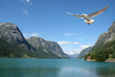 fjords: a seagull flying over the sea - beautiful landscape from norwegian fjords