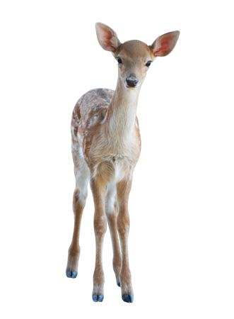 beautiful small fawn - isolated on white background Stock Photo