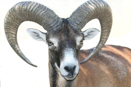 mouflon close-up isolated over white background