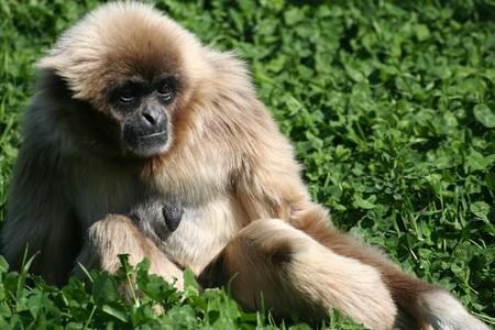 pretty monkey sitting on a green lawn Stock Photo - 4302709
