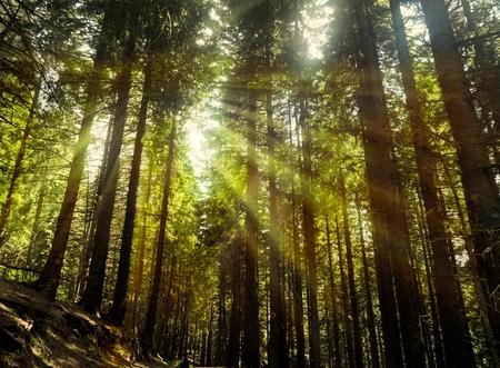 The sun radiates through the branches of tall trees - iridescent Banco de Imagens
