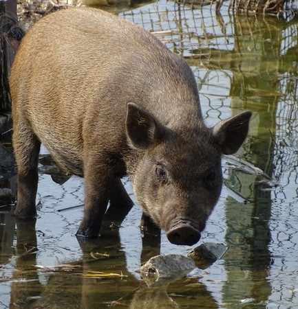 Close up of wild pig brown drinking water - animal zoo  home yard Imagens