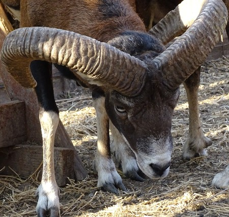 Close up of male mouflon with horns large front view - animal zoo  wild nature Stock Photo