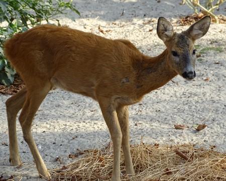 Gros plan d'un bébé cerf qui regarde vers la caméra - Bambi