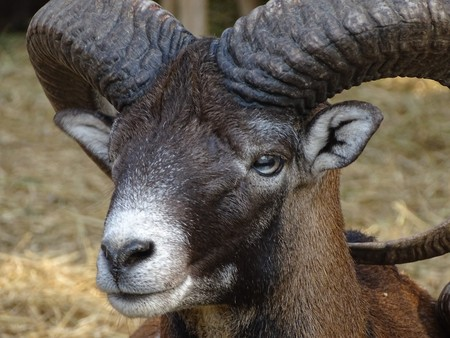 Close up of male mouflon with horns large front view - animal zoo / wild nature