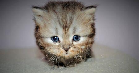 Adorable and cute persian cat - Archivio Fotografico - 134419461