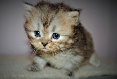 Adorable and cute persian cat - Archivio Fotografico - 134423431