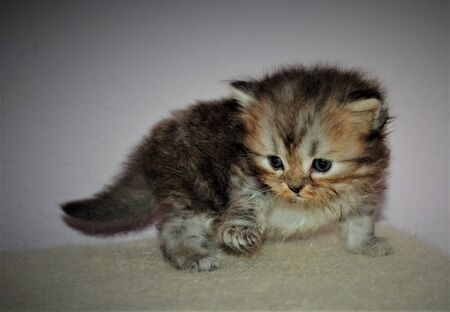 Adorable and cute persian cat - Archivio Fotografico - 134423432