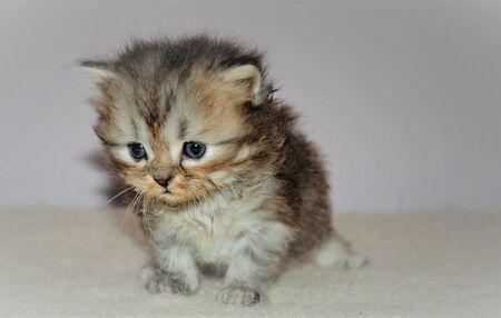 Adorable and cute persian cat - Archivio Fotografico - 134423435