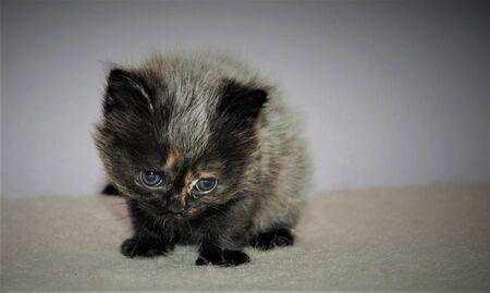 Adorable and cute persian cat - Archivio Fotografico - 134423437