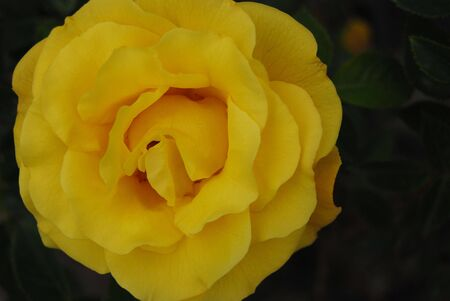 yello: yello rose