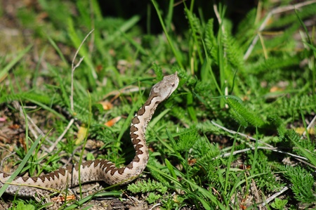 horned viper  vipera ammodytes   Stock Photo - 16259268
