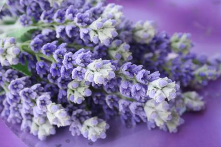 bunch of lavender Stock Photo - 396919