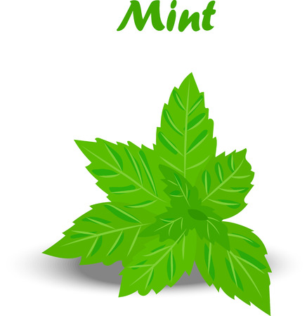 Very high quality original trendy vector illustration of a fresh mint leaves Illustration