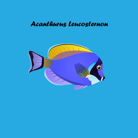 acanthurus leucosternon: Very high quality original trendy vector illustration Powder Blue Tang fish, Acanthurus leucosternon . Illustration