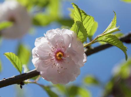 high resolutuion cherry blosoom Stock Photo