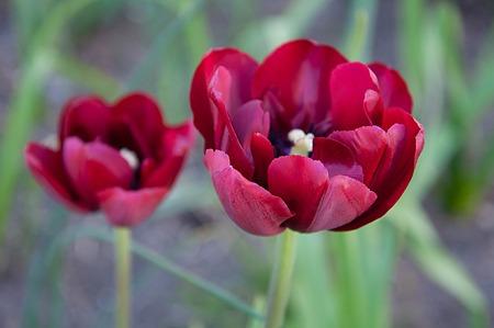 tulip on monochrome background