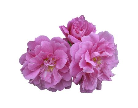 wild roses, hip, or flower bud