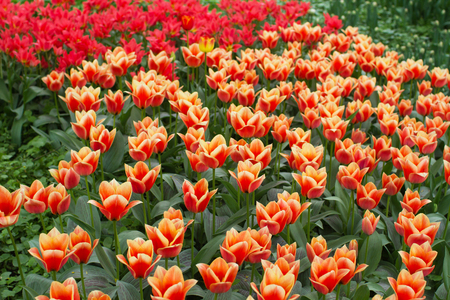 Yellow and red tulip field in garden Stock Photo