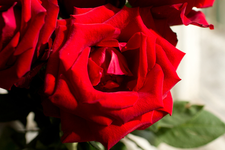 roze: Big red rose lit by the sun Stock Photo