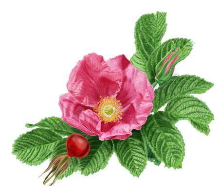 Rugosa rose Zdjęcie Seryjne - 29613619