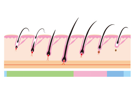 pili: Hair cycle  Life of hair