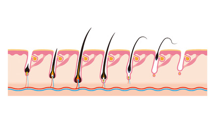 pore: Hair cycle  Life of hair