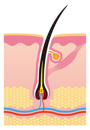 Haar, Struktur, Körper, Querschnittsansichten