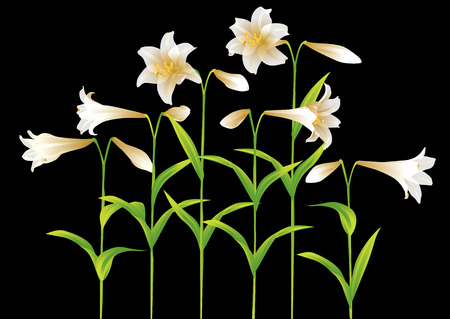 easter lily: Easter lily Illustration