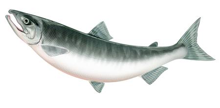 Salmon Banque d'images