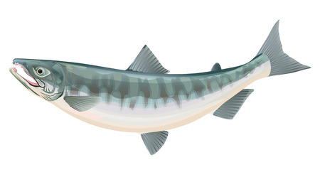 salmon run: Salmon Illustration