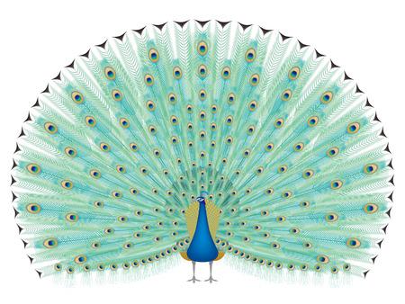 courtship: peacock Illustration