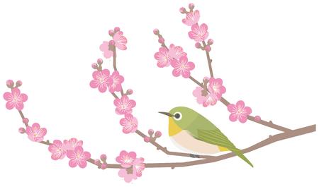 Gli occhi bianchi giapponesi ei fiori di prugne Archivio Fotografico - 76768744