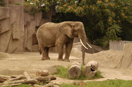 An elephant at a zoo in Miami Florida                       photo
