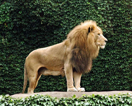 A Lion at the lincoln park zoo in chicago