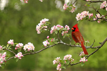 A cardinal in the spring on a limb of a cherry blossom tree Stock Photo
