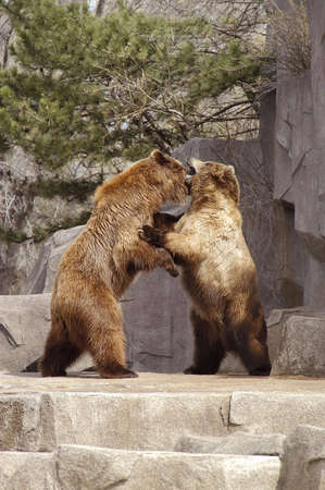foreleg:  A picture of two brown bears fighting at a Wisconsin zoo