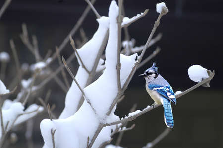 A picture of a bluejay during winter taken in a forest in Indiana