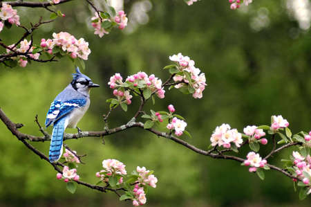 A picture of a bluejay on a cherry blossom tree taken in Indiana Stock Photo