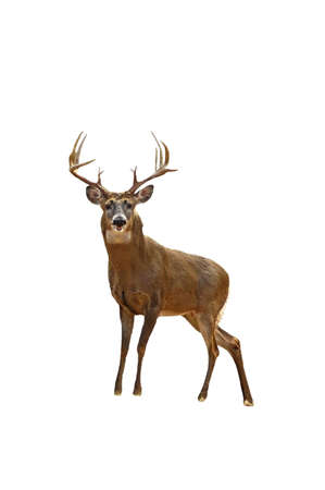 A isolated picture of a twelve point buck deer taken in a forest in Indiana Stock Photo - 2590732