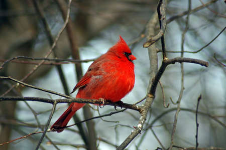 A picture of a male cardinal taken in the winter