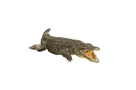 A isolated extracted picture of a corcodile taken at a Miami zoo